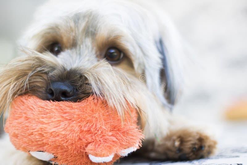 Cachorrinho bonito do yorkshire terrier que guarda o brinquedo foto de stock royalty free
