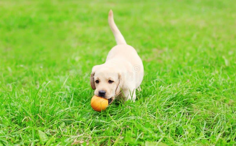 Cachorrinho bonito labrador retriever do cão que joga com bola de borracha foto de stock royalty free