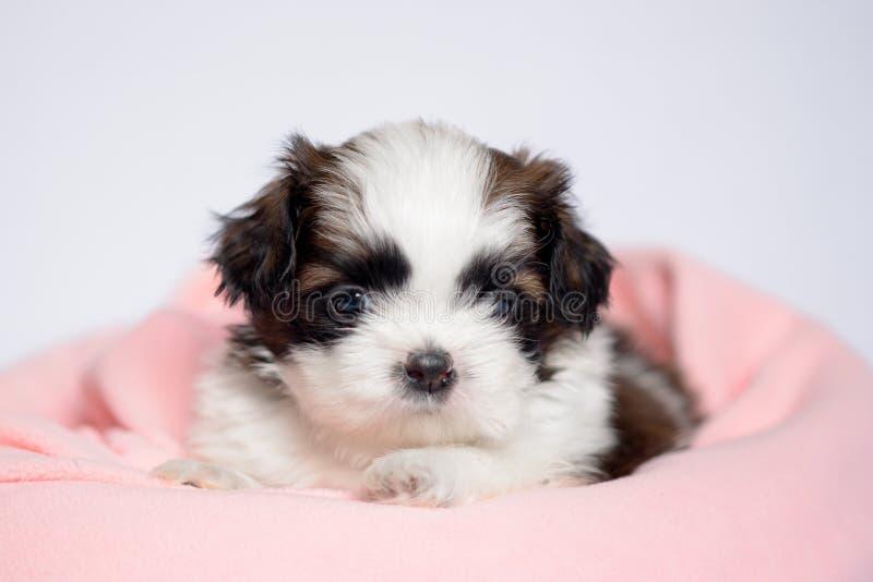 Cachorrinho bonito que encontra-se em um sofá cor-de-rosa fotos de stock