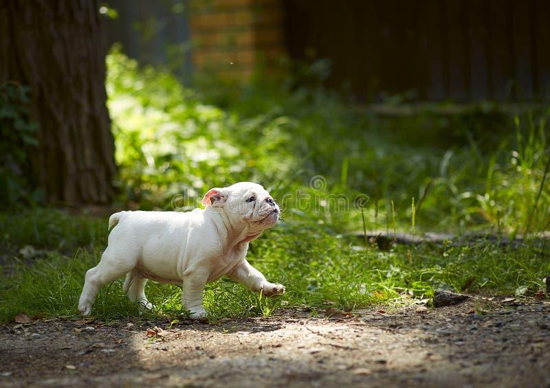 Cachorrinho branco de corridas inglesas do buldogue ao longo da estrada em um fundo da grama em um dia brilhante, ensolarado fotos de stock