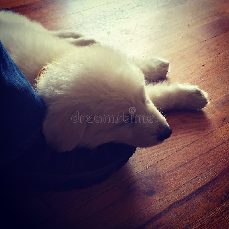 Cachorrinho branco do pastor alemão imagem de stock