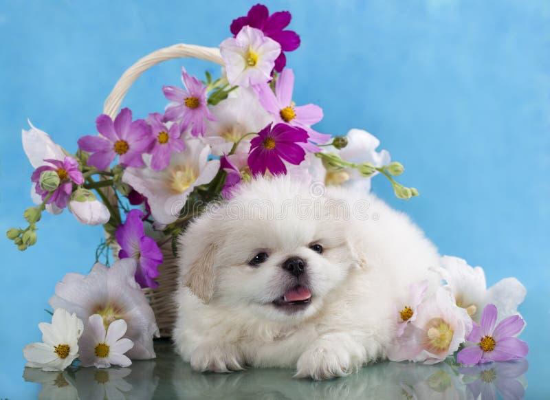 Cachorrinho branco do pequinês em um fundo azul imagens de stock