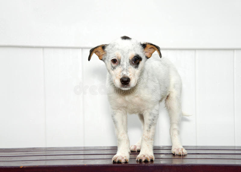 Cachorrinho branco e preto triste que está na plataforma de madeira escura, fundo branco da cerca imagens de stock royalty free