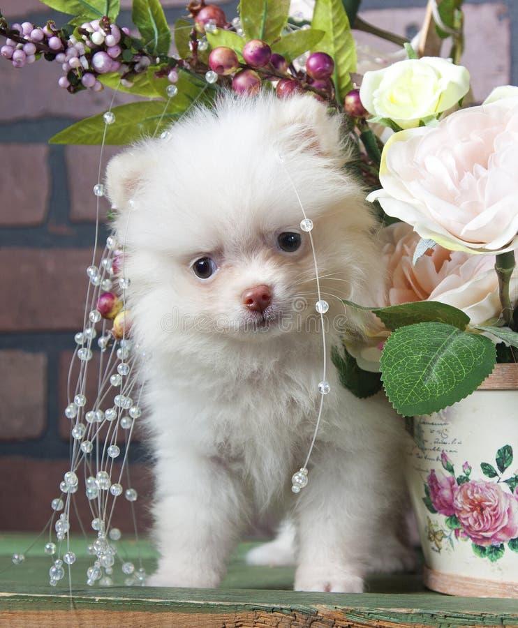 Cachorrinho branco Pomeranian que encontra-se no assoalho de madeira fotos de stock royalty free