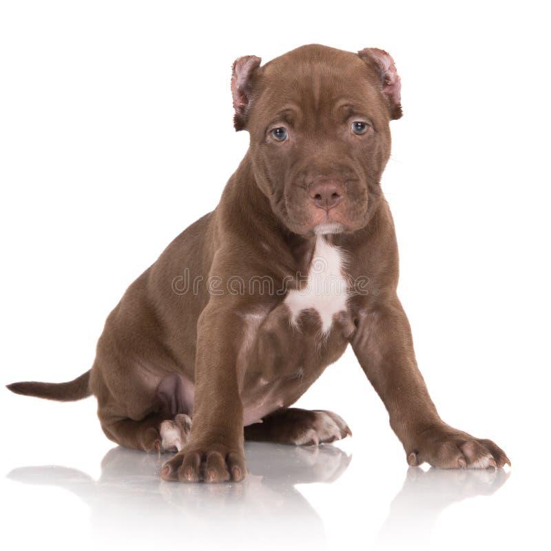 cachorrinho castanho chocolate adorável do pitbull imagens de stock