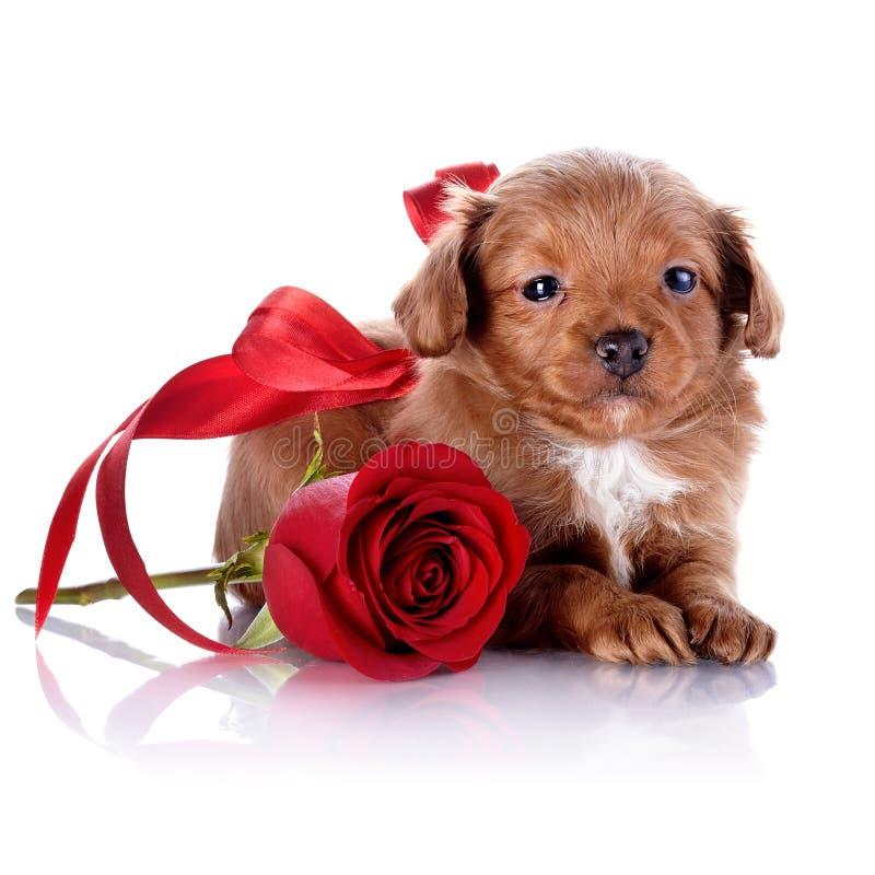 Cachorrinho com uma curva vermelha e uma rosa. imagem de stock royalty free