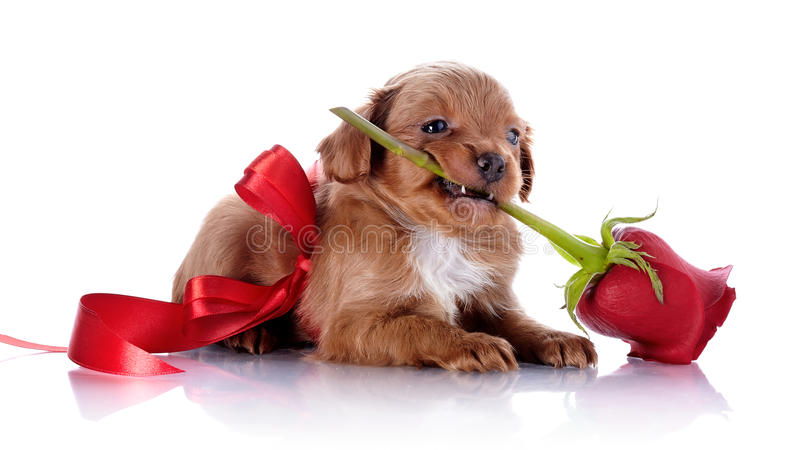 Cachorrinho com uma curva vermelha e uma rosa imagens de stock