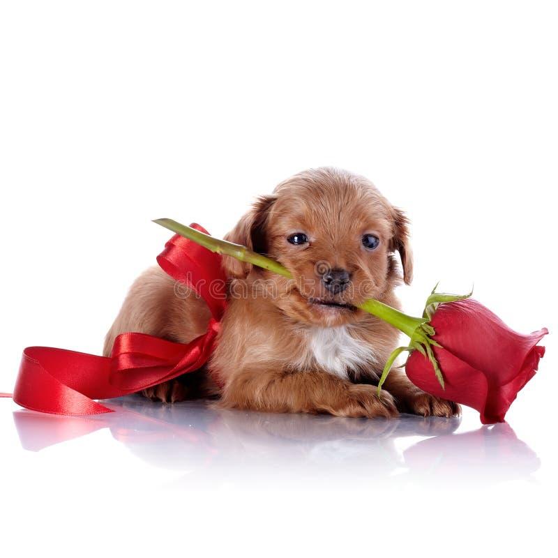 Cachorrinho com uma curva vermelha e uma rosa fotografia de stock