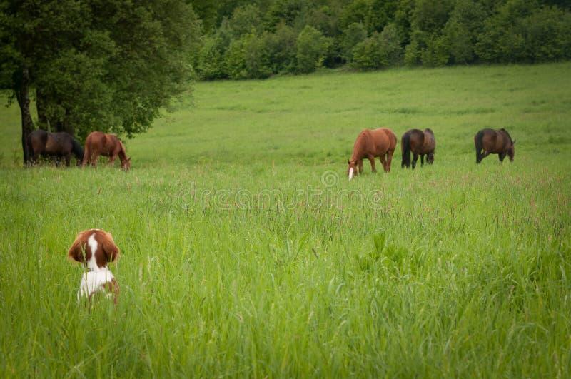 Cachorrinho curioso com cavalos em um prado fotos de stock