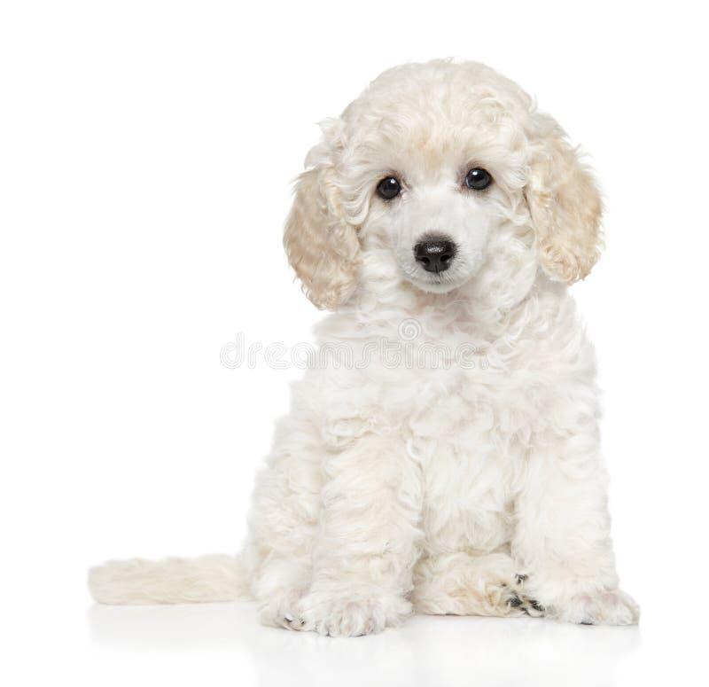 Cachorrinho da caniche de brinquedo no branco imagem de stock royalty free