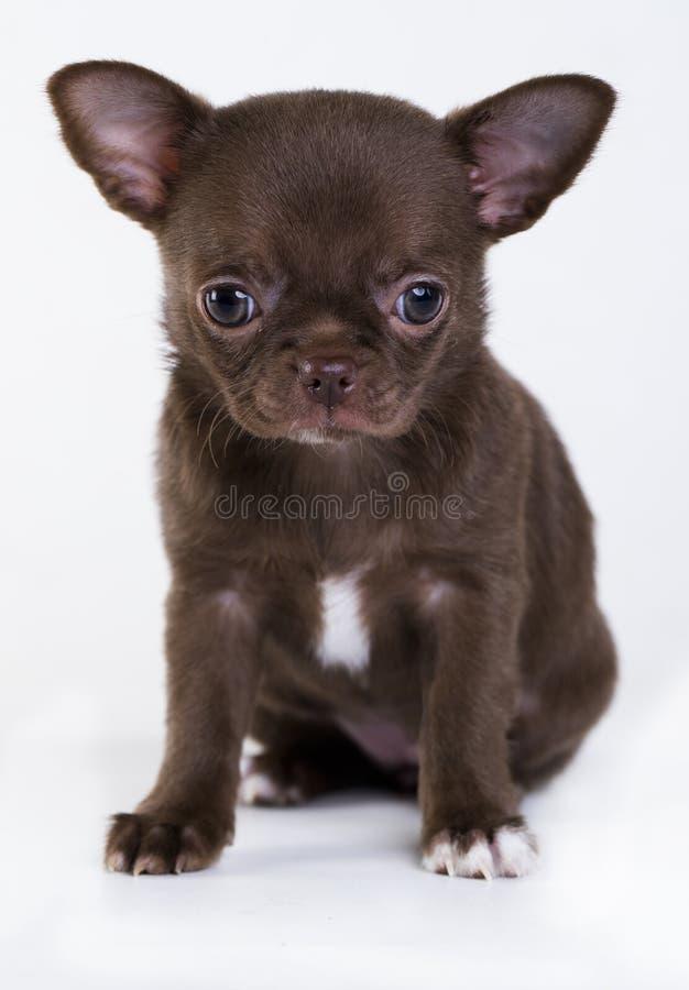 Cachorrinho da chihuahua da cor marrom fotos de stock