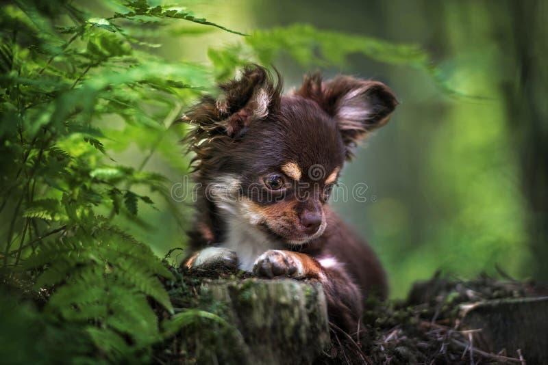 Cachorrinho da chihuahua de Brown na floresta foto de stock royalty free