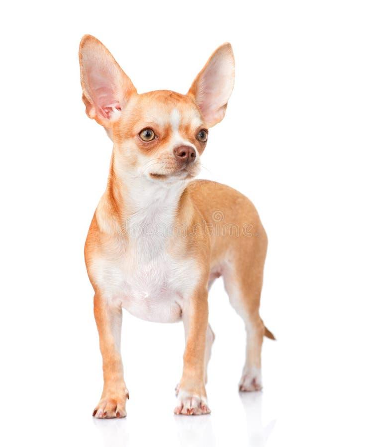 Cachorrinho da chihuahua que está na vista dianteira Isolado no backgr branco fotografia de stock royalty free