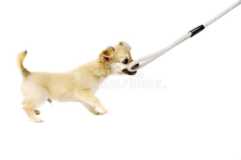 Cachorrinho da chihuahua que puxa uma ligação foto de stock
