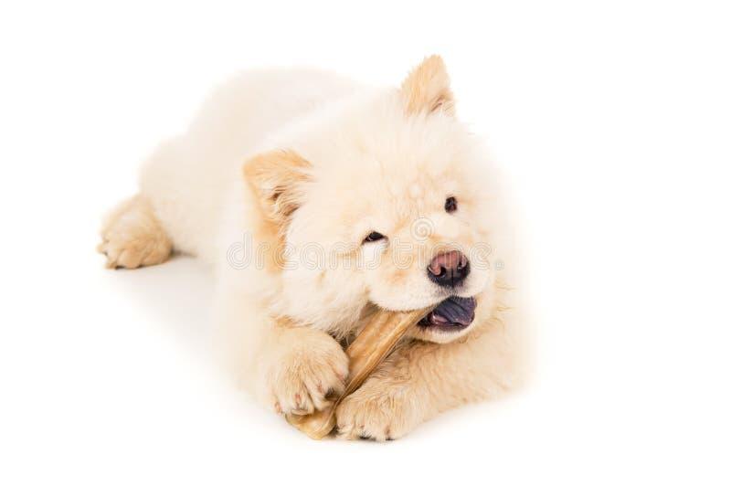 Cachorrinho da comida de comida com o osso isolado imagem de stock