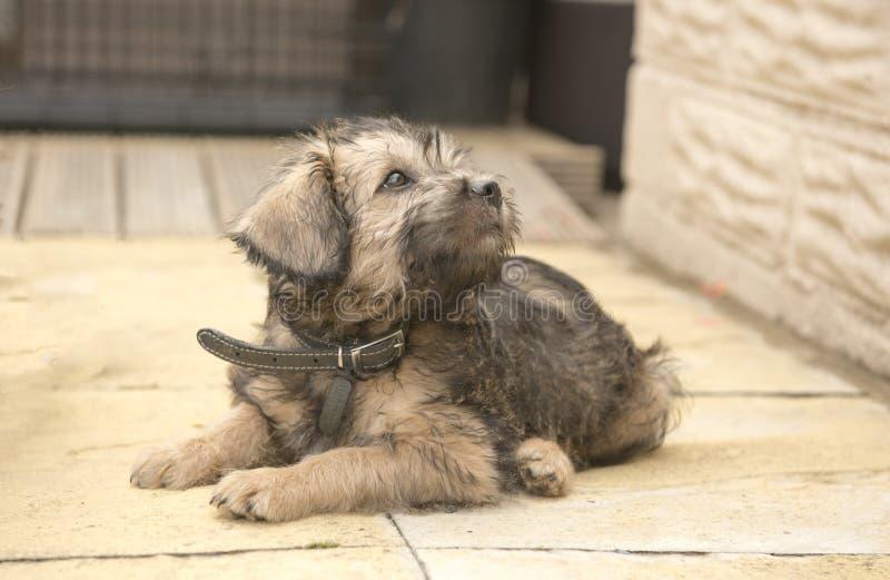 Cachorrinho da cruz do terrier da jovem corça que estabelece fora foto de stock royalty free