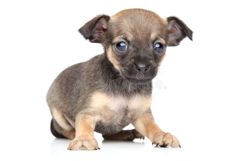 Cachorrinho da misturado-raça do terrier da chihuahua e de brinquedo foto de stock royalty free
