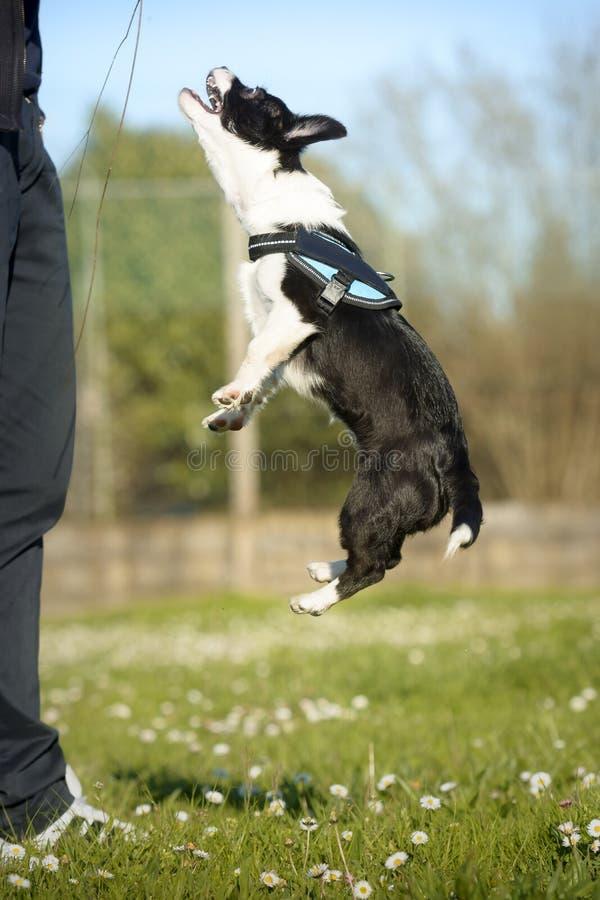 Cachorrinho da raça da mistura que salta para uma vara imagens de stock
