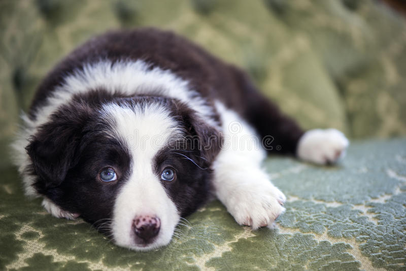Cachorrinho de border collie foto de stock royalty free