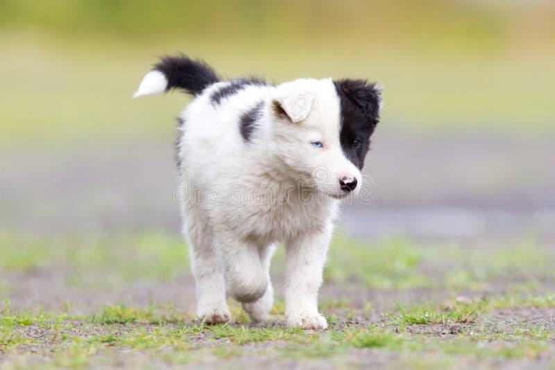 Cachorrinho de border collie em uma exploração agrícola imagens de stock