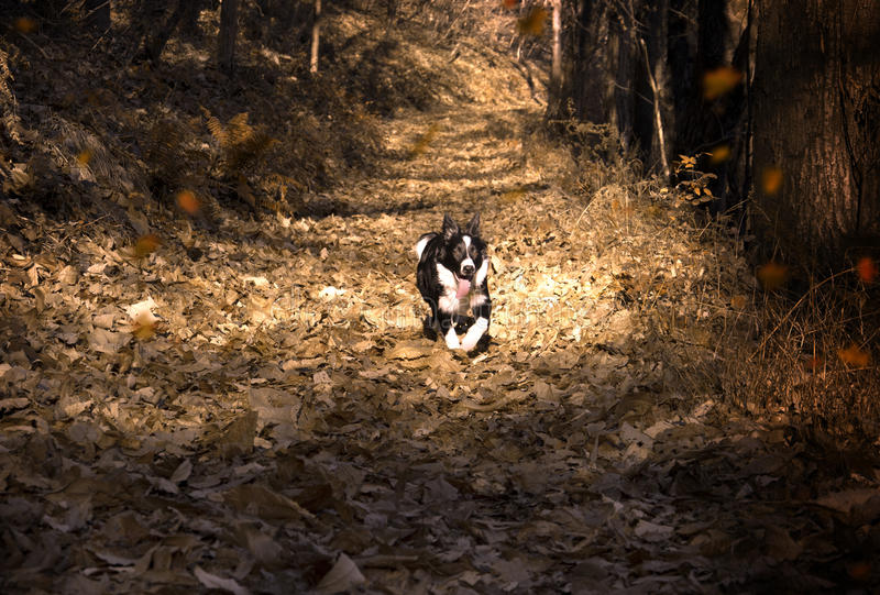 Cachorrinho de border collie imergido nas folhas de outono imagem de stock royalty free