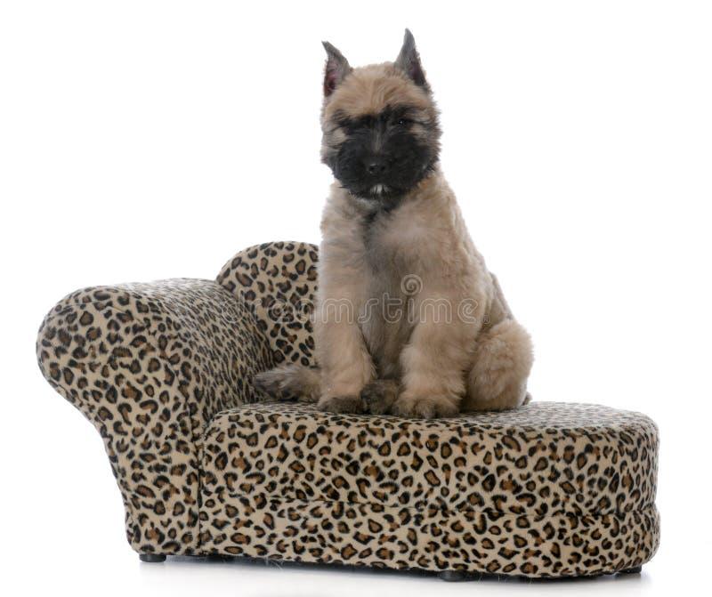 Cachorrinho de Bouvier que senta-se em um sofá da cópia do leopardo fotos de stock