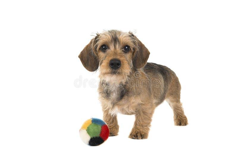 Cachorrinho de cabelo do bassê do fio bonito com uma bola na frente dele imagem de stock royalty free