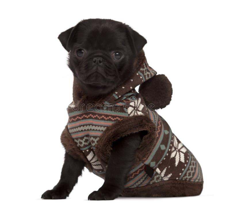 Cachorrinho de Carlin vestido olhando a câmera imagens de stock royalty free