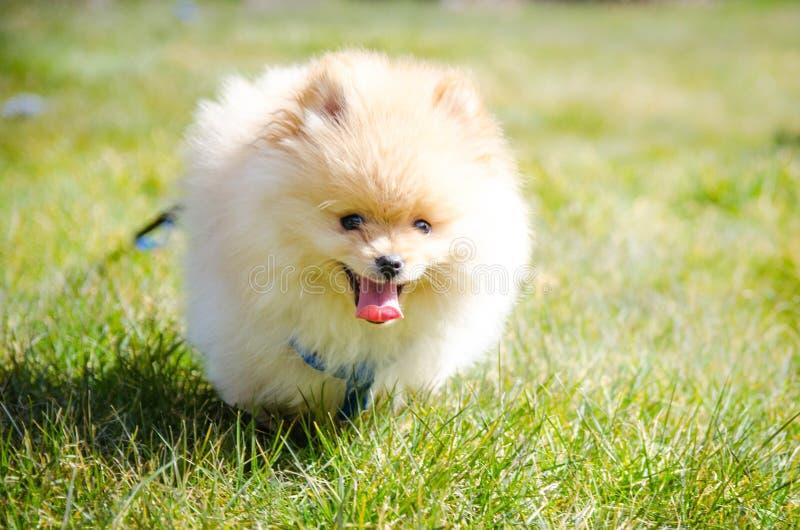 Cachorrinho de corrida de Pomeranian com língua para fora imagens de stock royalty free
