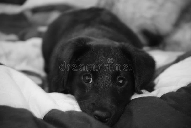 Cachorrinho de Daschund foto de stock