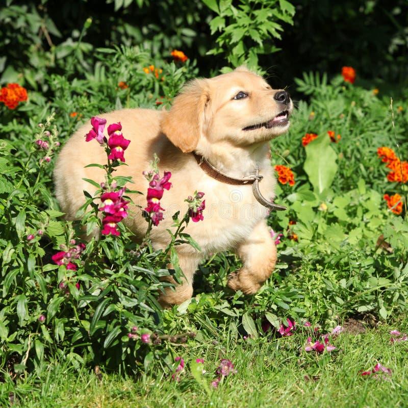 Cachorrinho de Hovawart que move-se no jardim imagem de stock royalty free