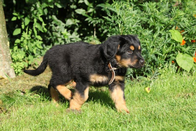 Cachorrinho de Hovawart que move-se no jardim imagens de stock