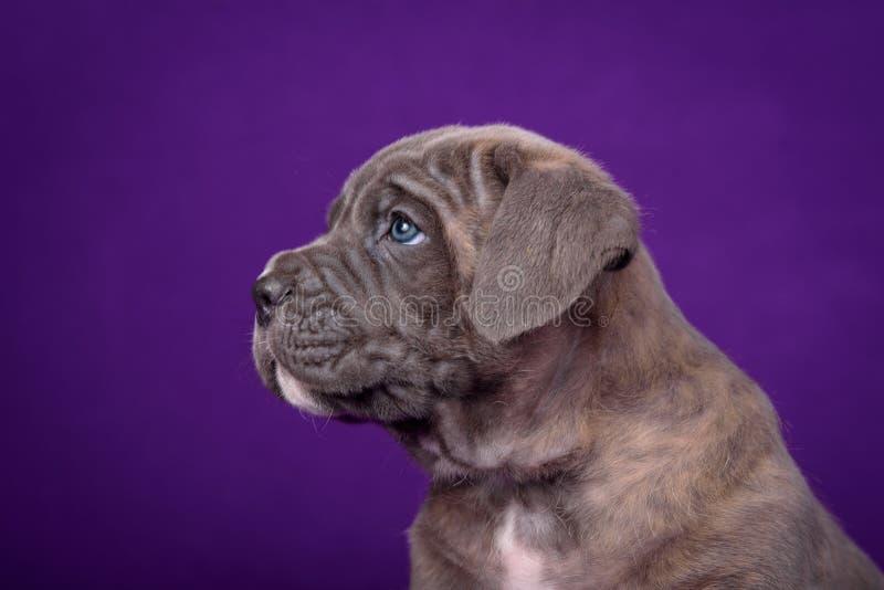 Cachorrinho de Kane Corso Retrato no fundo roxo fotos de stock royalty free