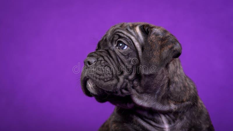 Cachorrinho de Kane Corso Retrato no fundo roxo foto de stock royalty free
