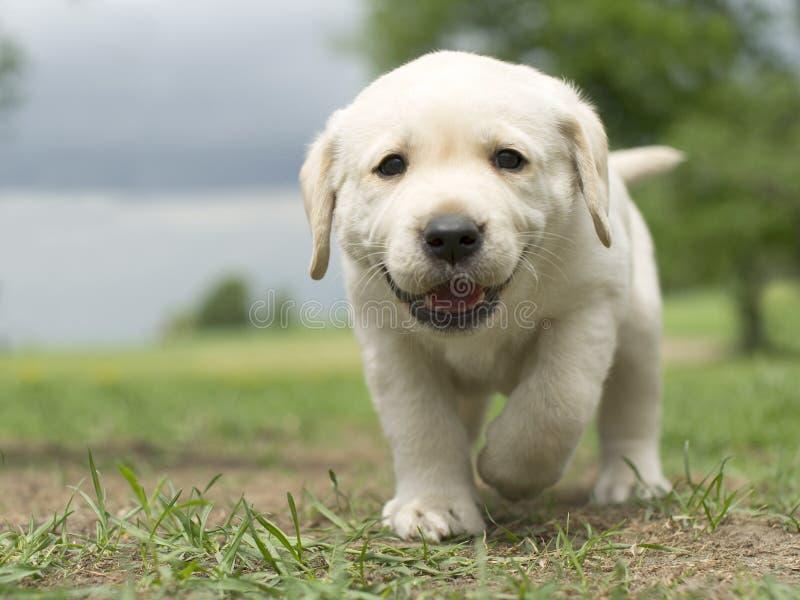 Cachorrinho de Labrador imagem de stock