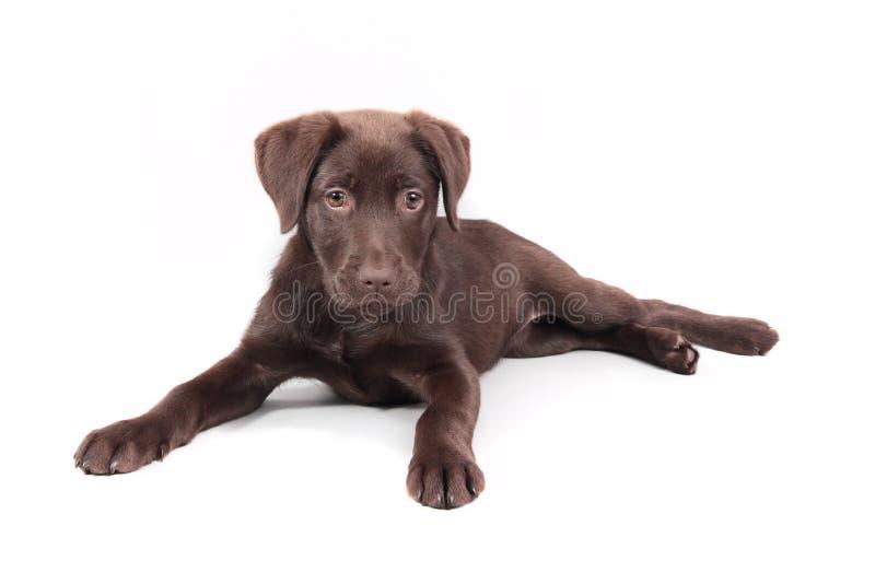 Cachorrinho de Labrador do chocolate que encontra-se para baixo imagens de stock