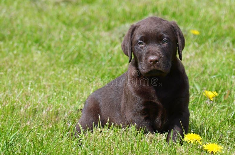 Cachorrinho de labrador retriever do chocolate fotos de stock royalty free