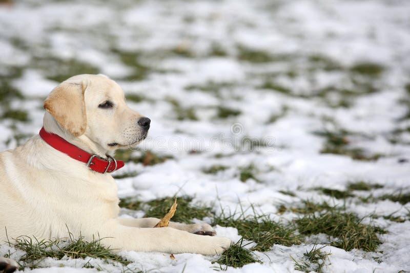 Cachorrinho de labrador retriever na jarda no inverno que olha o direito fotografia de stock royalty free