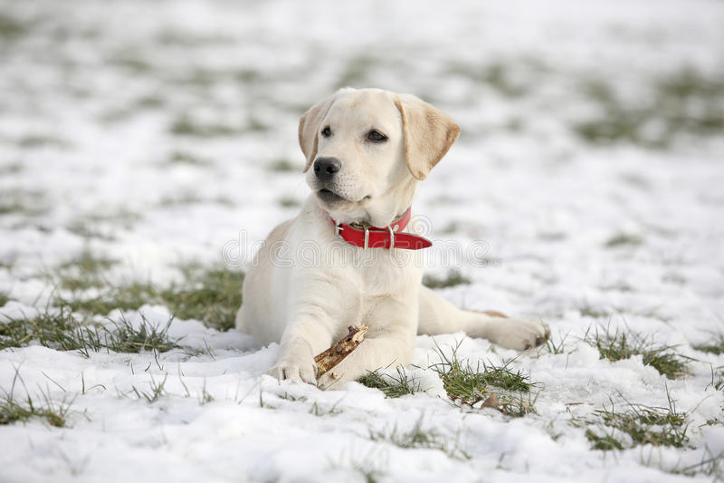 Cachorrinho de labrador retriever na jarda que encontra-se e que olha à esquerda imagem de stock royalty free