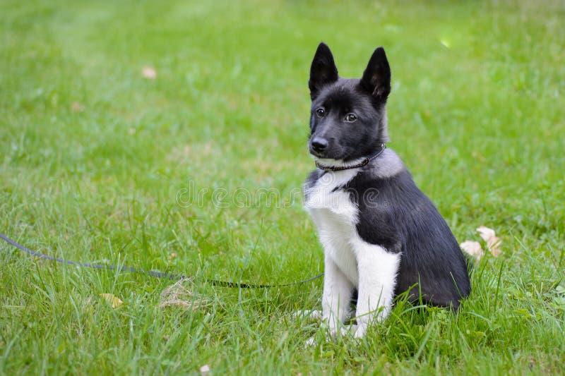 Cachorrinho de Laika, fotos de stock royalty free