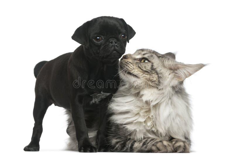 Cachorrinho de Maine Coon e do Pug fotos de stock royalty free