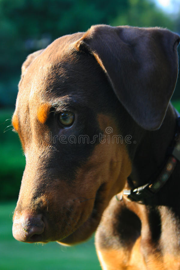 Cachorrinho de Pincher do Doberman fotografia de stock royalty free