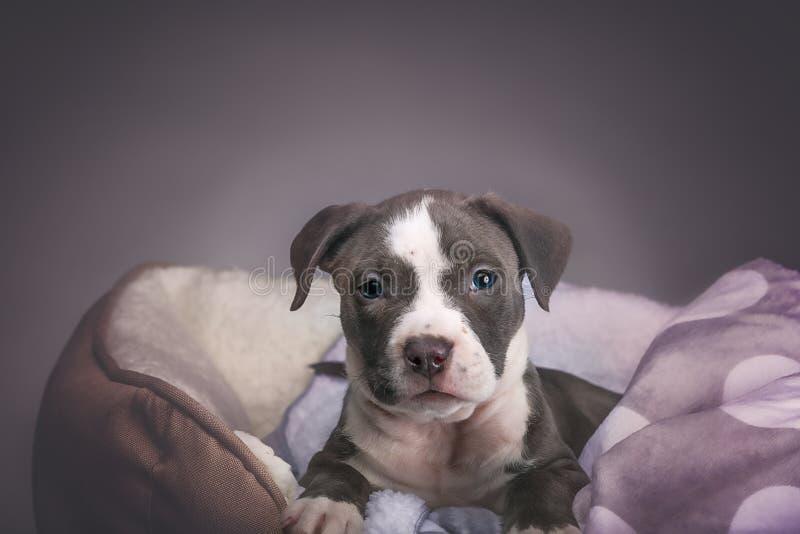 Cachorrinho de Pitbull do americano imagem de stock royalty free
