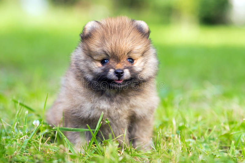 Cachorrinho de Pomeranian fotografia de stock