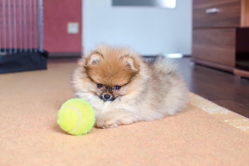 Cachorrinho de Pomeranian, cão pequeno com uma bola em casa fotografia de stock