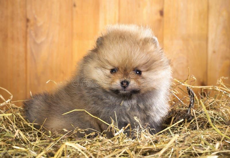 Cachorrinho de Pomeranian em uma palha imagens de stock