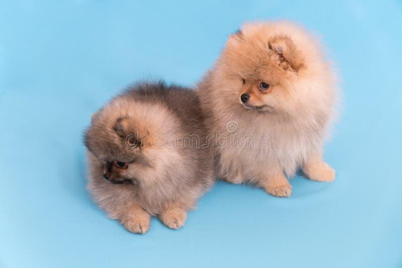 Cachorrinho de Pomeranian a idade de 2 meses isolados no azul fotografia de stock