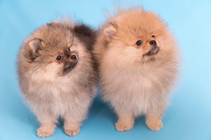 Cachorrinho de Pomeranian a idade de 2 meses isolados no azul imagens de stock royalty free