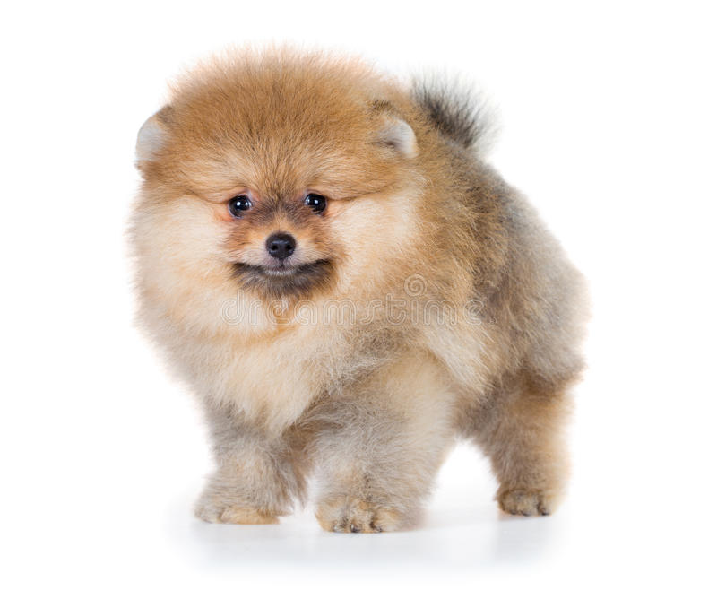Cachorrinho de Pomeranian isolado em um fundo branco imagens de stock royalty free