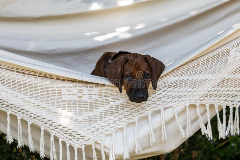 Cachorrinho de Rhodesian Ridgeback na rede fotografia de stock royalty free